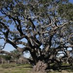 1000-year-old-live-oak