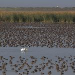 a-solitary-pelican-amongst-thousands-of-ducks