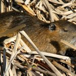 the-nutria-is-a-giant-rodent-that-enjoys-warm-climes