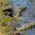 alligators-sunning-photo-by-mike-keenan