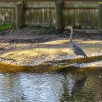 great-blue-heron-photo-by-mike-keenan