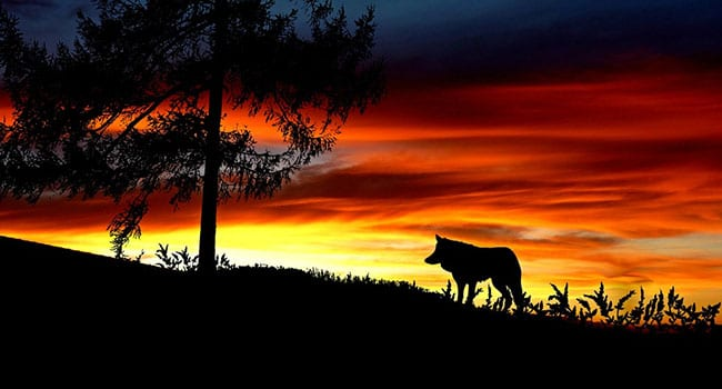 Which inner wolf will you feed – good or evil?