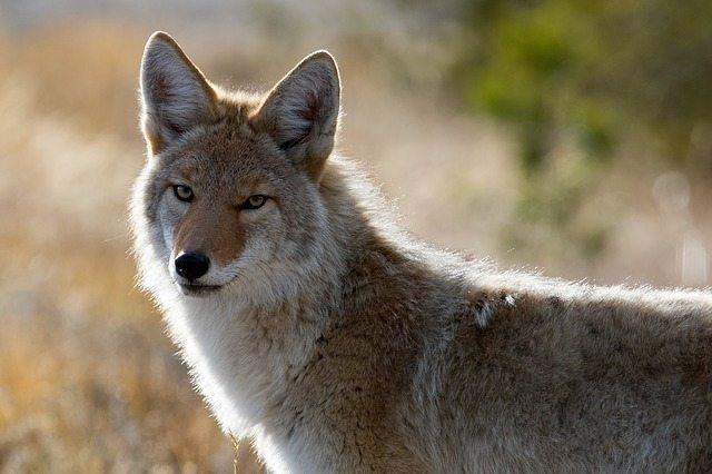 The coyotes are back and their dining habits can be a problem