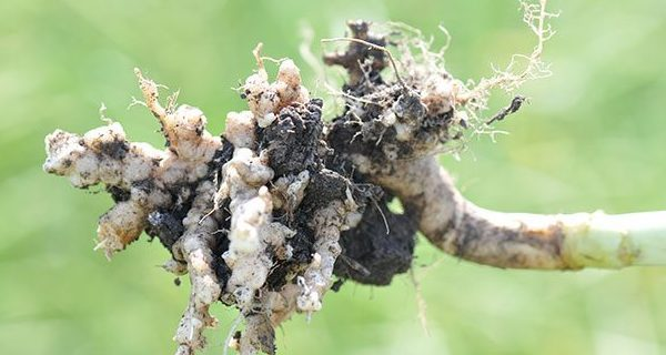 Biosecurity on the farm: dealing with clubroot